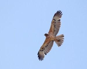 Juvenile Bonelli's Eagle, Credit: Wikimedia Commons