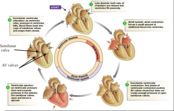 D:\Diagrams\Cardiac cycle.jpg