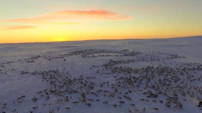 Migrace sobů zachycena dronem