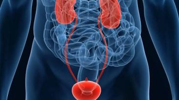 urinary system urology