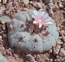 peyotecacti