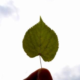 Lindenblätter im Licht