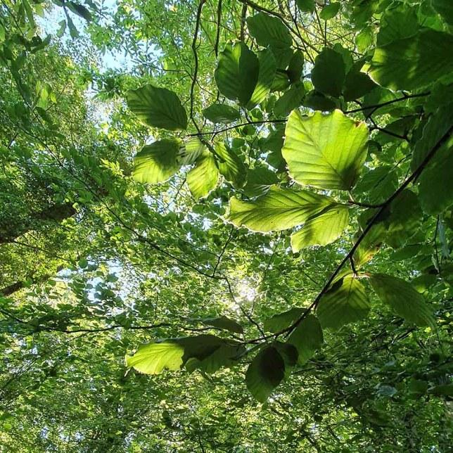 célébrations druidiques sous le hêtre et la protection de Mélia. On voit des feuilles de hêtres et la frondaison des arbres.