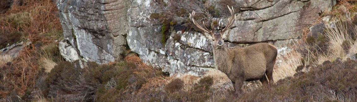 Red Stag Hunting Highlands, DruidView
