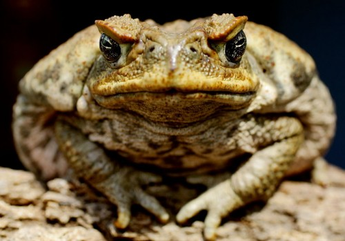 large toad 500x349 large toad