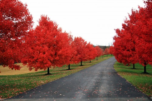 red tree road 500x333 red tree road