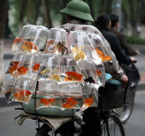 gold fish to go 500x471 gold fish to go