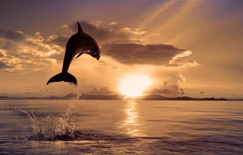 dolphin jumps into the sunset 500x320 dolphin jumps into the sunset