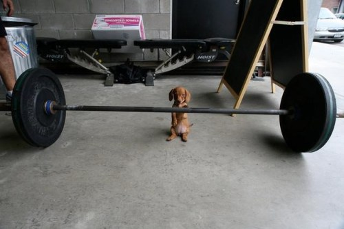 muscle puppy 500x333 muscle puppy