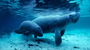 West Indian manatees in the Crystal River, Florida by Daniel J. CoxCorbis.jpg