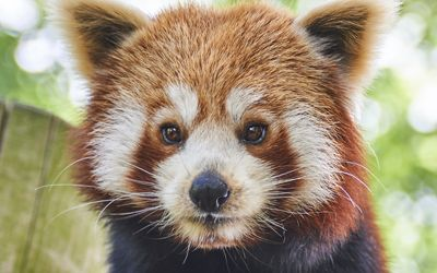Animals at Drusillas Zoological Park   Best Small UK Zoo for Kids Animals  Red Pandas