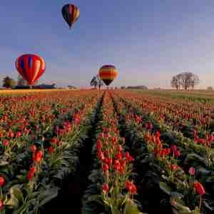 Balloons & Tulips