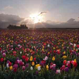 Celestial Tulips