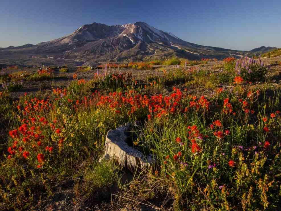 Fields of Wildflowers Below Mt St Helens