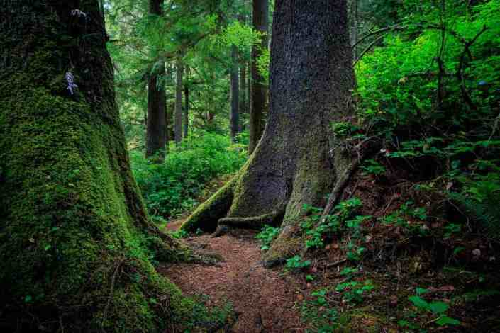 Old Growth Sitka Spruce