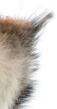"""Detail of coyote fur from one of Running's """"Predator"""" sculptures."""