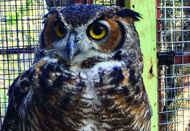 Great horned owl: Priscilla's story