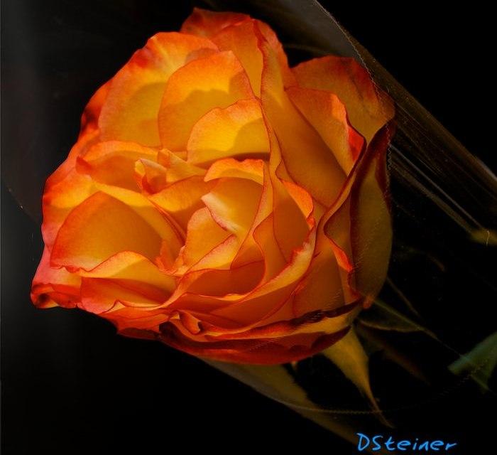 Au nom de la rose. Après critique.