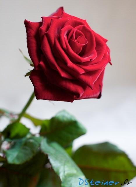 Photo de fleur: rose rouge