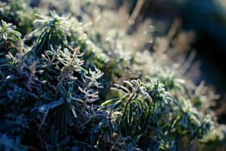 Les plantes gelées