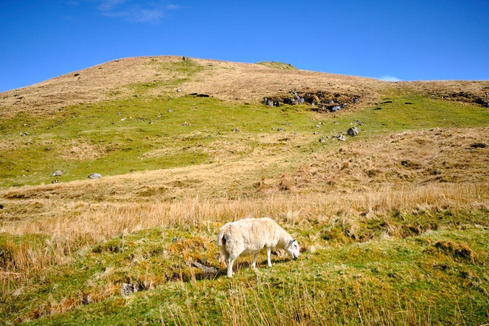Road trip en Ecosse : moutons
