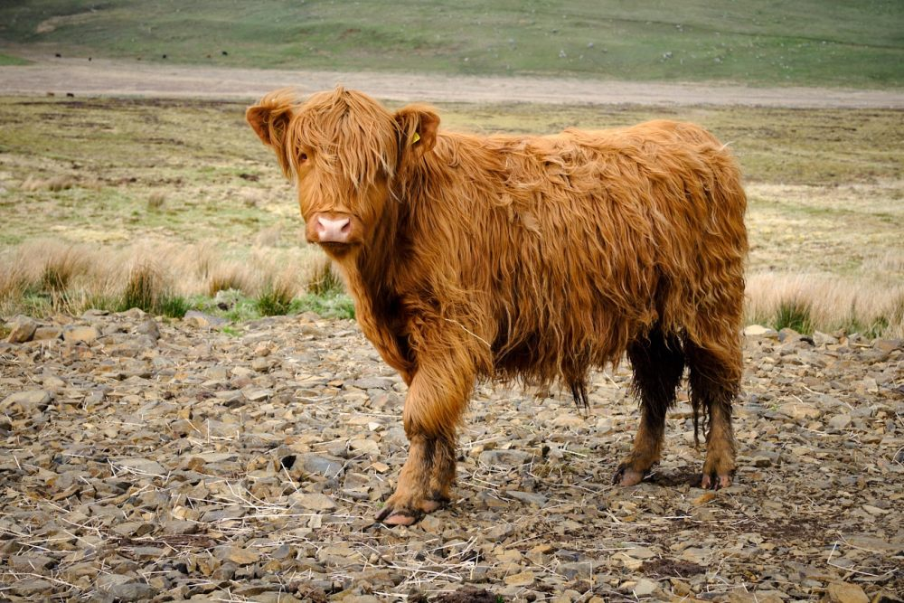 Roadtrip Ecosse : vache Ecossaise