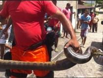 Sucuri de 3 metros em Lauro de Freitas