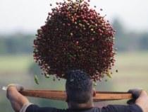 Governo vai leiloar mais 4,2 mil toneladas de café arábica