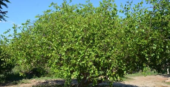 Fazenda experimental da PMVC é pioneira no cultivo do umbu gigante