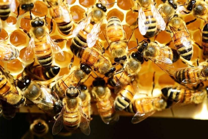 honey-bees-345620_1920