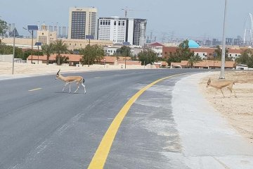 Dubai gazelles reclaim the streets
