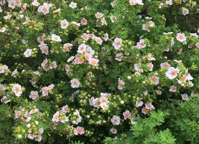 Light pink potentilla shrub