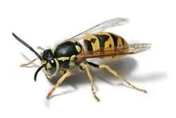 """Wasp (""""Vespula Vulgaris"""")"""