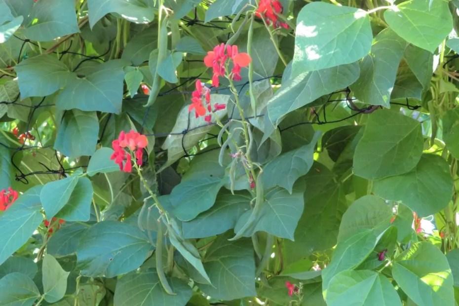 Runner bean flowers and pods