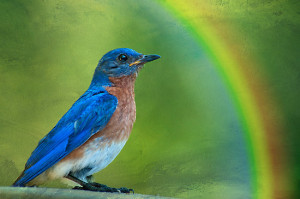 bluebirds fly over the rainbow ...?