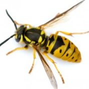 Wasp Removal Dudley , Wasps Nest Removal Stourbridge & Dudley 01384 829115, wasps in the roof removal Dudley Council Tenants & Residents