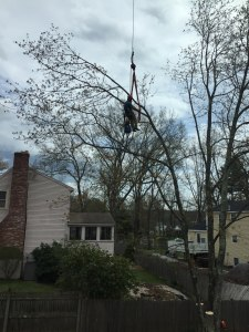 arborist in harness working on a tree