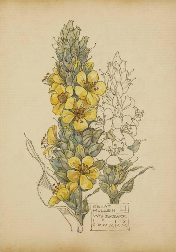Great Mullein, Walberswick. Charles Rennie Mackintosh.
