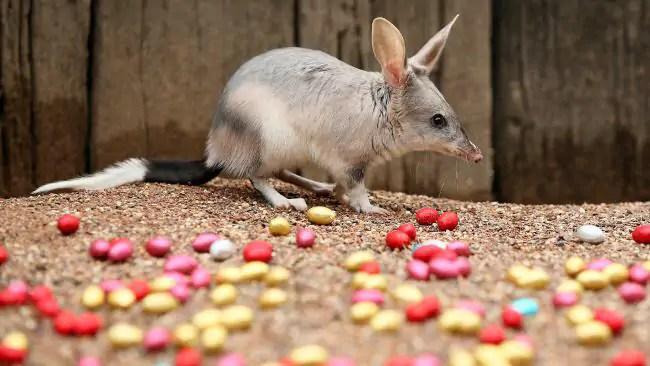 Maak kennis met de Australische paashaas