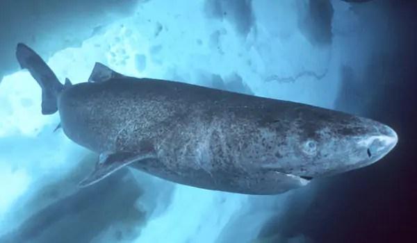 De Groenlandse haai kan ruim vierhonderd jaar oud worden •