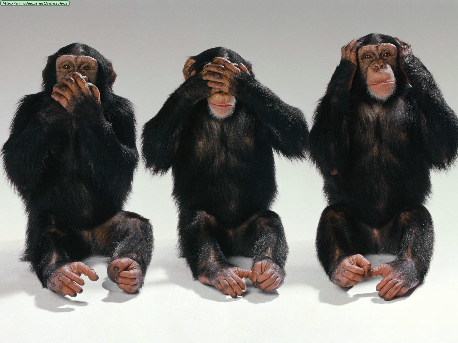 https://i1.wp.com/www.duiops.net/seresvivos/galeria/chimpances/Animals%20Chimpanzees_Hear%20No%20Evil,%20See%20No%20Evil,%20Speak%20No%20Evil.jpg