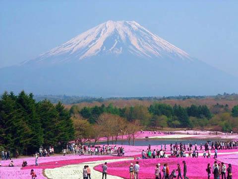Lễ hội Shibazakura Phú Sĩ, Nhật Bản