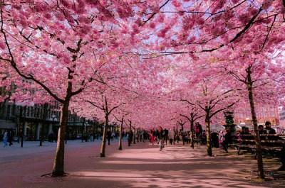 Rực rỡ sắc hoa anh đào khắp Nhật Bản