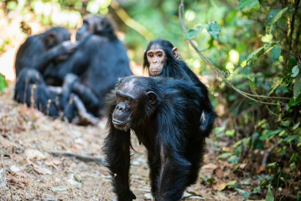 Chimpanzee habitat Gombe jungle