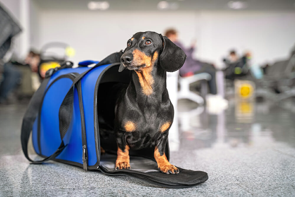 Dachshund dog sits in blue pet carrier waiting to travel