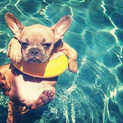French Bulldog Pool