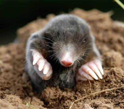 https://i1.wp.com/www.dumville.org/photos/mole_3a.jpg