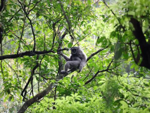 Pertamina EP Asset 3 Subang Field  Lepasliarkan Enam Owa Jawa