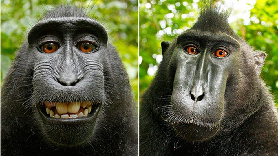 Monkey selfies on Wikimedia