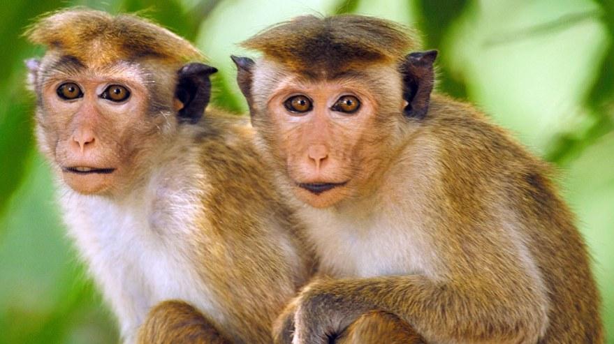 maymun ile ilgili görsel sonucu